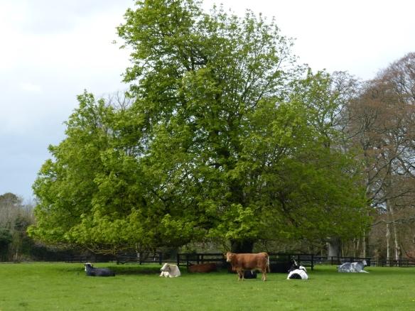 Altamont-cows-P1130888