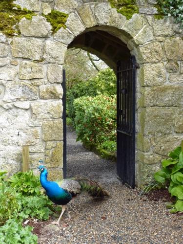 Altamont-peacock-P1130639