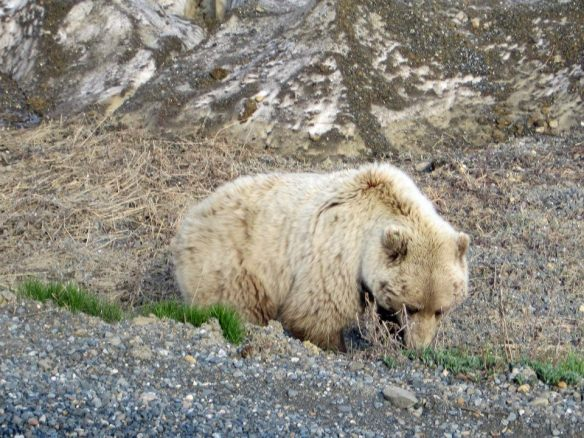 tundra bear 1