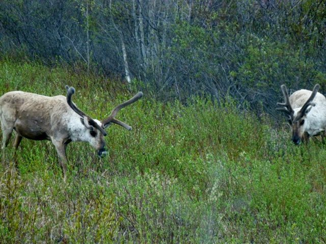 Tundra Tour Moose