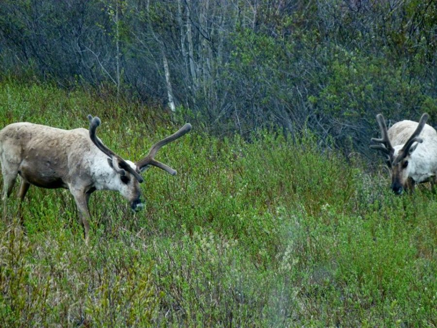 Tundra Tour Moose